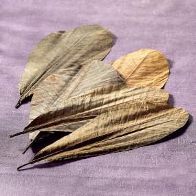Dried Magnolia leaves