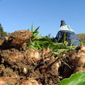 Huile de colza et olive au gingembre