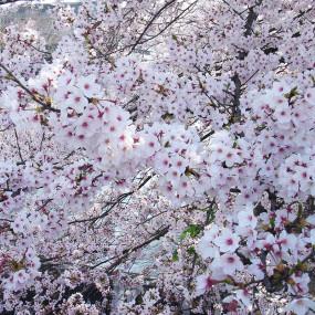 Thé Matcha à la feuille de cerisier Sakura en fleurs Komachi