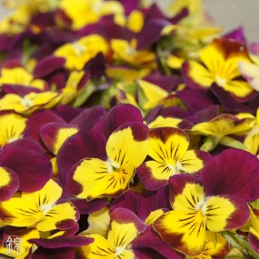 Dried edible viola fowers Flowers & leaves