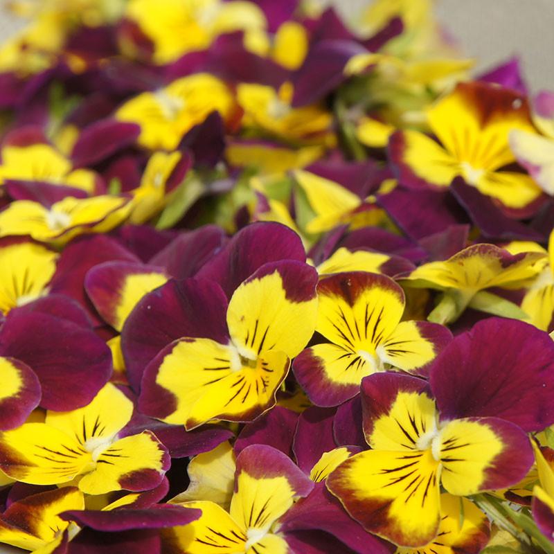 Dried edible viola fowers