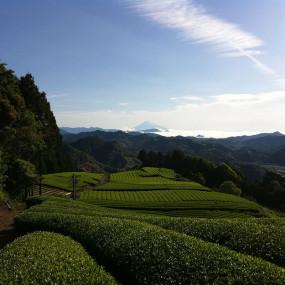Thé Bancha fermenté 3 ans, en poudre Le thé
