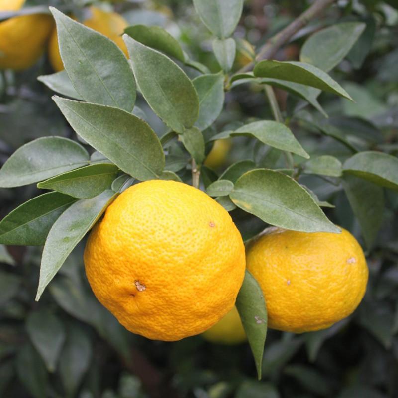 Fresh Yuzu from Kôchi