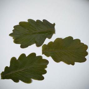 Feuilles de chêne Kashiwa salées  Fleurs & feuilles