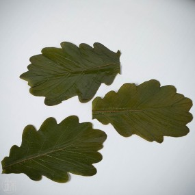 Kashiwa salted oak leaves