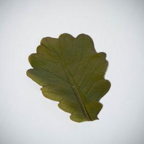 Kashiwa salted oak leaves  Flowers & leaves
