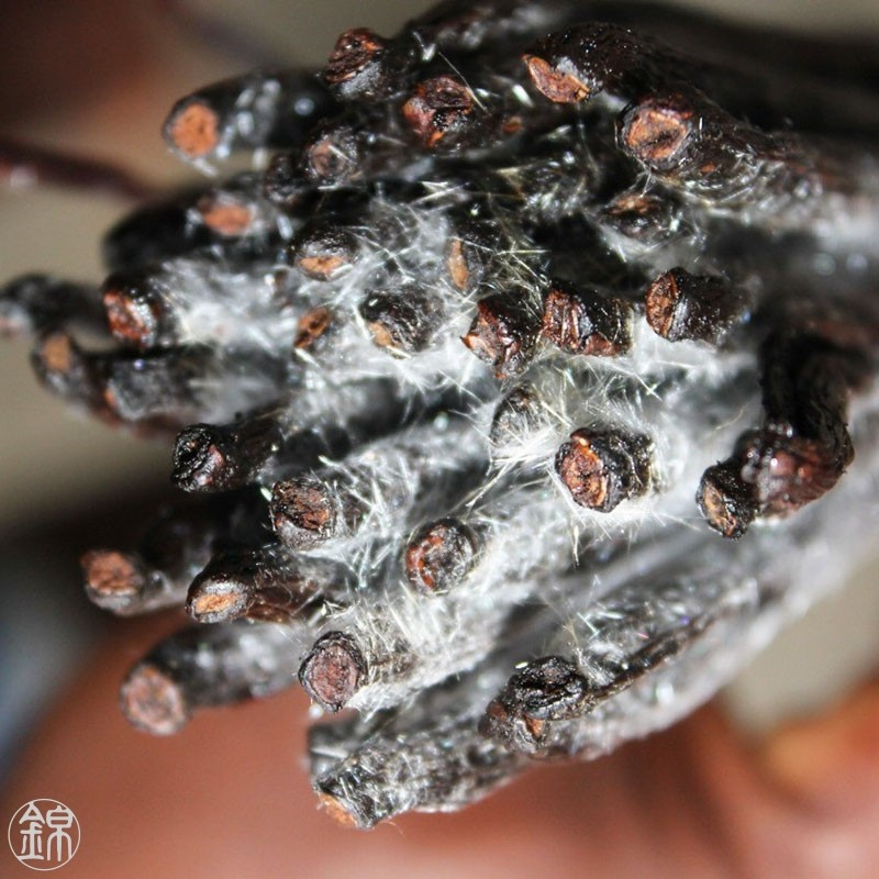 Frosted Vanilla unsplit black pods - Madagascar