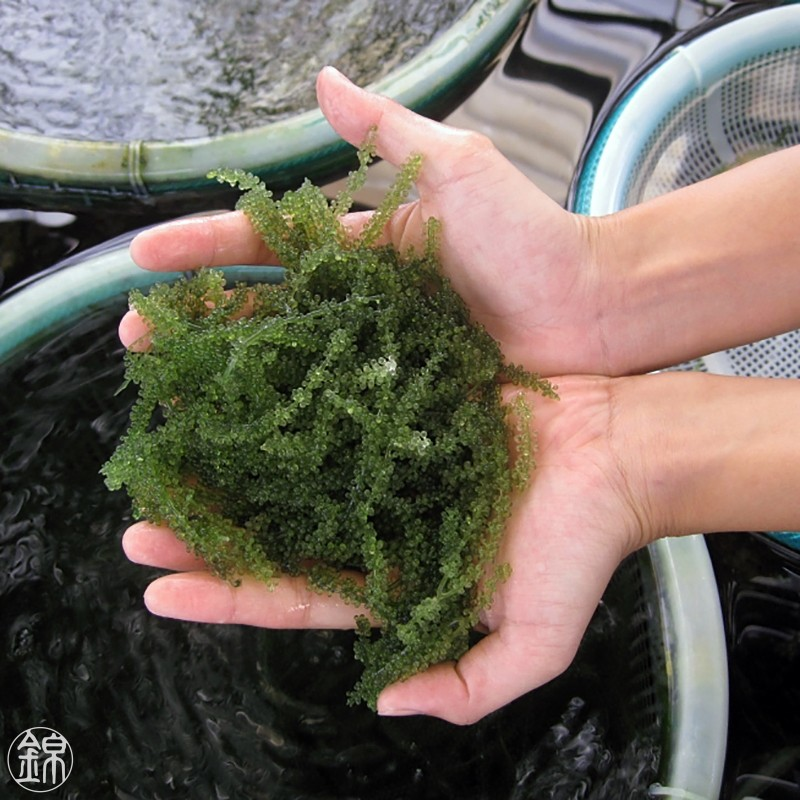 Seagrapes or Umibudo seaweed from Okinawa Seaweeds