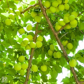 Green Ume plum syrup