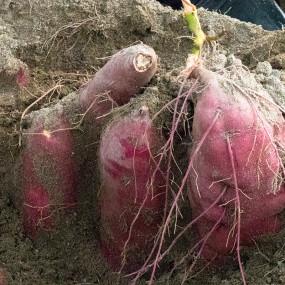 Sirop naturel de patate douce Annou Imo