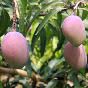 Pétales de prune ume au shiso rouge, lyophilisés
