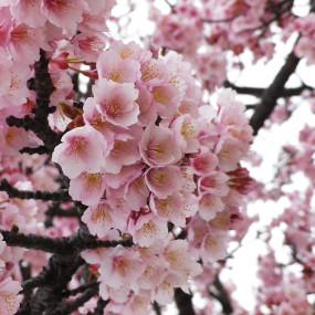 Freeze-dried and salted Sakura cherry blossom petals