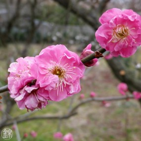 Cherry blossom preserved in sweet syrup Flowers & leaves