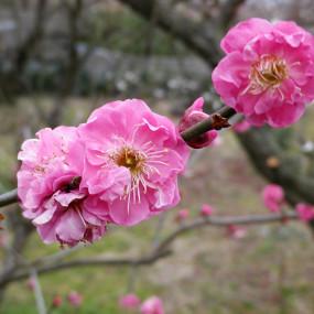 Fleurs de cerisiers Sakura au sirop Fleurs & feuilles
