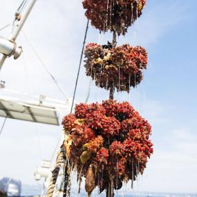 Hoya sea squirt (sea pineapple) sauce